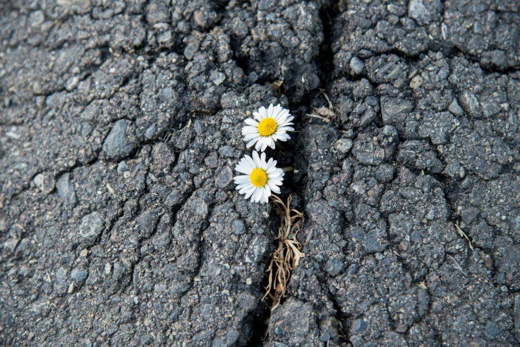 Flowers breaking through asphalt